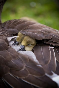 Baby birds keeping warm under their mother's wing.