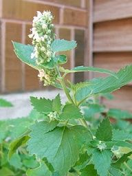 Herb Lesson - Catnip: Catnip can be used for a verity of maladies. With cold season just around the corner it is a good idea to keep some catnip around, from your own plant or dried. It is used for anxiety and nerves, bronchitis, colds, flu, colic, diarrhea, gas/bloating, headaches, insomnia, indigestion, stomach aches, menstrual cramps, morning sickness, toothaches, teething and sore eyes. (by Mexican Wildflower)
