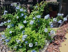 Plumbago. Hardy to zone 8. Evergreen. Full sun. Try it in my back yard which seems to be a zone 8 microclimate here in zone 7.