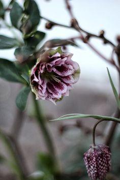 """Helleborus (Christmas rose) """"Double Ellen Picotee"""""""