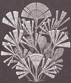 The diatom 'Licmophora flabellata' as drawn by Ernst Haeckel.