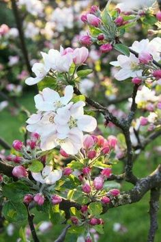Apple Blossom Michigan State Flower Trees And Crab Are Full Of Fragrant Flowers In The Spring