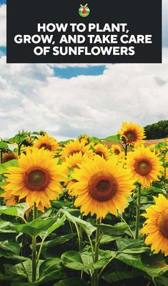 A plant that provides beauty as well as a harvest, a sunflower is well worth planting. Here we have an extensive guide to types of sunflowers, how to grow sunflowers, diseases they may have, how to…MoreMore Sunflower Seedlings, Sunflower Garden, Sunflower Fields, Sunflower Types, Planting Sunflower Seeds, Perennial Sunflower, Sunflower House, Sunflower Drawing, Types Of Sunflowers