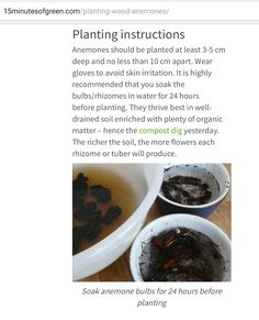 Planting Anemones