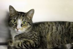 We would also like to congratulate Molly for getting adopted today at the AAA adoption fair! She went together with Athena. Two terrific tabbies went together!!!