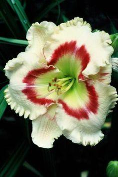 http://www.pinterest.com/jcunnings/flower-garden/  Daylily 'Ruby Lipstick'