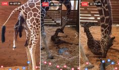 Finally! April the Giraffe Delivers Her Newborn
