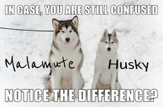 Alaskan Malamute & Siberian Husky. Two of my favorite breeds ... Malamute is more.. fluffy than husky, i mean husky have sharper facial stucture