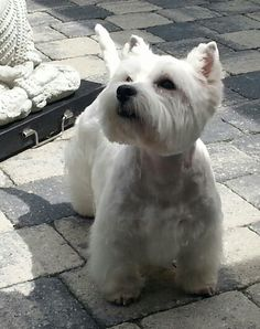 Jamie, Beautiful Westie!