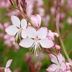 Gaura plant / flower - A graceful, plant with spikes of bright pink, star-shaped flowers on long slender stems. This long-flowering perennial (flowers June-October) looks equally at home in an informal cottage-style garden or amongst soft grasses in borders. It is exceptionally drought-tolerant and enjoys soaking up the sun.