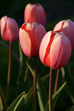 Tulips At Dusk Photograph  - Tulips At Dusk Fine Art Print