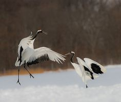 Japanese Red-crowned Cranes in a mating dance Japanese Crane, Japanese Quilts, Japanese Art, Snow Dance, William Adolphe Bouguereau, Photo Libre, Rare Birds, China Art, Nature Animals
