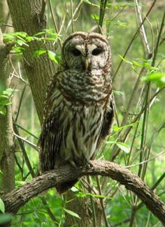 OWLS | Habitat Herald Newsletter: Owls of Loudoun