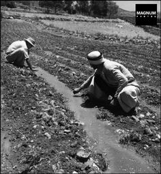 1948,Galilee. An Arab worker helps with the irrigation of a field//Robert Capa