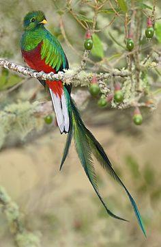 fairy-wren: resplendent quetzal (photo by todd gustafson)