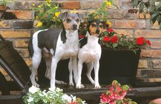 Brazilian Terriers are alert, intelligent and playful with stronger than average hunting instincts. They should not be left alone with small animals.