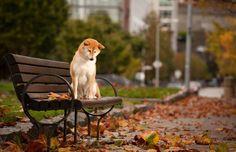 Hachiko: A Dog's Story Shiba Inu, Animals And Pets, Cute Animals, Hachiko, Japanese Dogs, Education Canine, Akita Dog, Dog Stories, Dog Photography