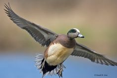american wigeon - Yahoo Image Search Results