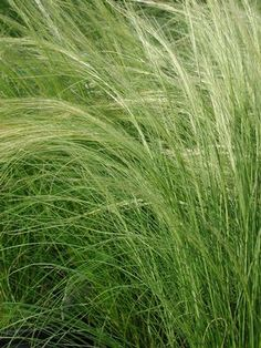 Nasella (formerly Stipa) tenuissima, Mexican feather grass. Native to TX, S.Am.