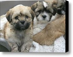 Lhasa Apso Puppy Painting Stretched Canvas Print / Canvas Art By Marvin Blaine