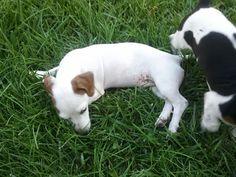 My new chiweenie puppy...
