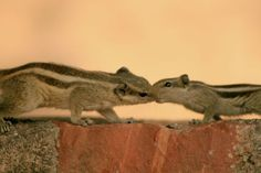 Bisou palm squirrels - Funambulus pennantii (Fatehpur Sikri. India) | Bisou d'écureuils palmistes - funambulus pennantii (Fatehpur Sikri. Inde) | Beso de ardillas palmista - Funambulus pennantii (Fatehpur Sikri. India.)