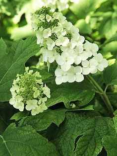 Oakleaf hydrangeas (H. quercifolia) grow panicle flowers on rangy stems with attractive, peeling bark. They're native to the United States and super-easy to grow in warm climates, but not hardy enough for much of the Midwest. If you live in Zone 5, an oakleaf is a good low-care option.