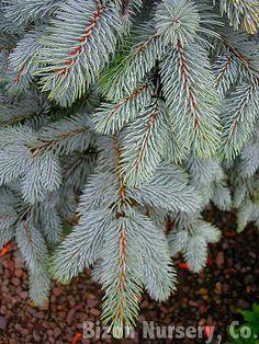Picea pungens Glauca-gruppen.  Blågran.