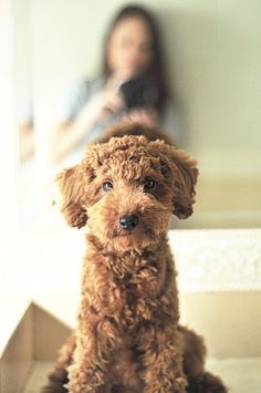 rather adorable, fluffy red labradoodle (labrador - poodle) puppy Cute Puppies, Cute Dogs, Dogs And Puppies, Red Labradoodle, Labradoodles, Goldendoodles, Australian Labradoodle, Cavapoo Dogs, Chocolate Labradoodle