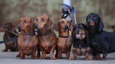 If you are considering to own a dachshund, or you've just become a new dachshund owner, there are some realities you do need to fully accept...