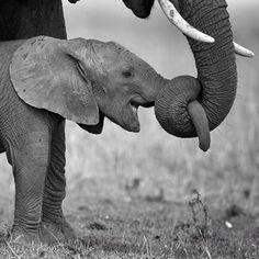 Elefantes expresion