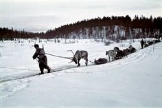 Finnish soldiers and reindeer pulling ahkios in Petsamo, Finland during the Winter war against the Soviet Union, April 1942 - pin by Paolo Marzioli Old Pictures, Old Photos, History Of Finland, Operation Barbarossa, Night Shadow, Korean War, Soviet Union, Vietnam War, Historian