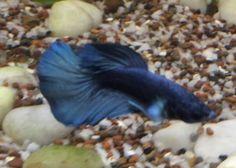 My beta the little Blue