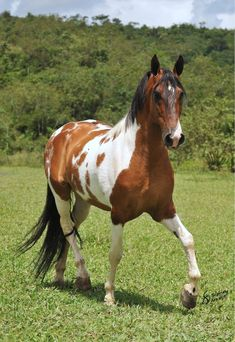 """The Campolina horse is one of the larger Brazilian breeds, a breed with an ambling gait called the """"marcha."""" They are used for leisure riding, driving and dressage. This bay tobiano boy has beauty and style! Horses And Dogs, Wild Horses, Animals And Pets, Cute Animals, Most Beautiful Horses, Pretty Horses, Horse Love, Beautiful Creatures, Animals Beautiful"""