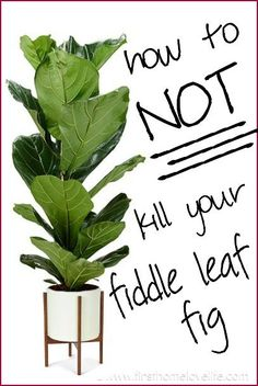 I love these plants ... Great info for a serial fiddle leaf fig killer ... Fiddle Leaf Fig Care