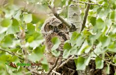 Great Horned Owlets, Cottonwood Trees, Owl Nesting Images, Fine Art Owl Prints, Owl Photo Décor Images, Wildlife Photography Owlet Images.