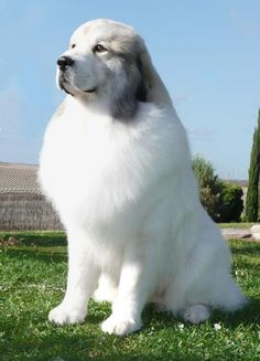 Euzkadi - Pyrenean Mountain Dog (Great Pyrenees) Breeder - Lewis He is gorgeous! Pyrenees Puppies, Great Pyrenees Dog, Dogs And Puppies, Doggies, Corgi Puppies, Beautiful Dogs, Animals Beautiful, Cute Animals, Big Dogs
