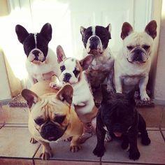 Ok kids, it's Frenchie family photo time!