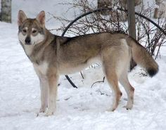 Tamaskan. aka, the coolest looking dog ever! I want one so bad but someone would probably shoot it where I live thinking its a wolf.. He's so beautiful