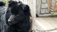 Black Dog On a Chain #Akphotographer, #Black, #Chain, #Dog, #Guard, #Head, #Isolated, #Pet, #Portrait, #Shepherd http://goo.gl/bJOdkR