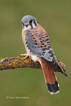 american kestral birds of prey All Birds, Birds Of Prey, Love Birds, Pretty Birds, Beautiful Birds, Animals Beautiful, Animals Images, Animals And Pets, Raptor Bird Of Prey