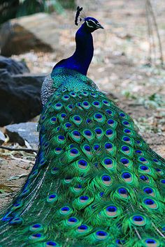 peacock GORGEOUS!