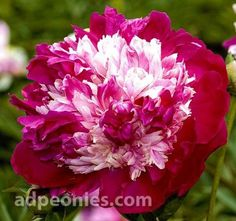 Nellie Saylor - Probably the most festive of Imperial peonies; from the center of deep wine red guard petals out bursts a gala mound of white, cream, pink and red petaloids and the party lasts for weeks