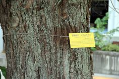 A-bombed tree in Hiroshima