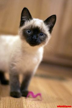 Not necessarily a Siamese kitty fan, but this one is a cutie! I am absolutely in love with our Siamese kitty Rex. Siamese Kittens, Cute Kittens, Cats And Kittens, Pretty Cats, Beautiful Cats, Animals Beautiful, Animals And Pets, Baby Animals, Cute Animals