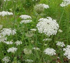 Queen Anne's Lace. A roadside lined with this is just gorgeous!
