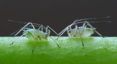Aphids can be an annoying garden pest, but with these all-natural pesticides you don't have to worry about them! Potted Fruit Trees, Zantedeschia Aethiopica, Snails In Garden, Natural Pesticides, Insect Pest, Cannabis Plant, Bougainvillea, Garden Pests, Shade Plants