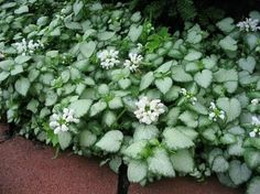 White Nancy creeping lamium (new groundcover for open spots--evergreen)
