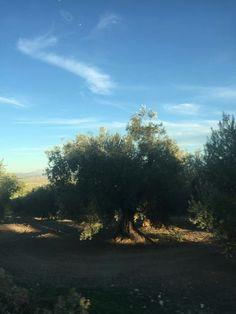Nuestro aceite de oliva...