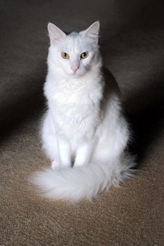 Russian White